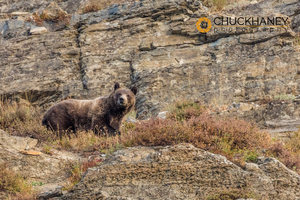 Grizzly-Bear_009-435.jpg
