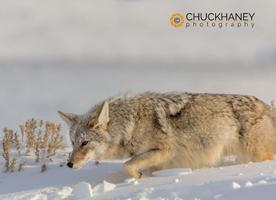 Coyote_006-411.jpg
