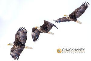 Bald-Eagle-Sequence-411.jpg