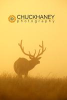 Elk in prairie