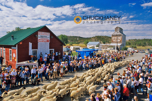 Annual Sheep Drive in Reedpoint
