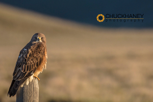 Swainsons-Hawk_003-422.jpg