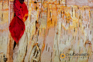 Birch-Bark_005-copy.jpg
