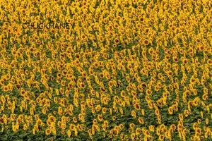 Sunflowers_010-496.jpg