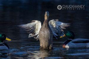 Mallard-Duck_007-504.jpg