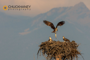 Osprey-Fish_002-431.jpg