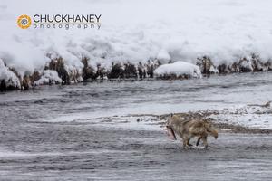 Coyote-fishing_002-445.jpg