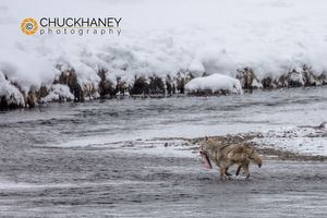 Coyote-fishing_002-445.jpg