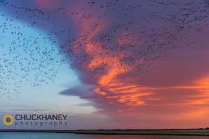 Snow-Geese-Freezeout_032-502.jpg
