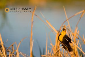 Yellow_headed_blackbird_018_copy.jpg