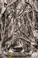 Dark-Hedges_006-sepia2-470.jpg