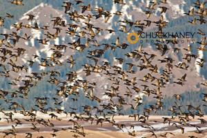 Mallard flock