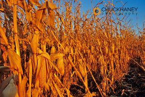 Mature Corn Field
