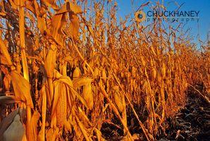 Mature Corn Field