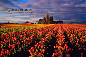 Commercial Tulip Field