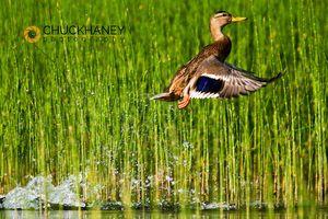 Mallard in reeds