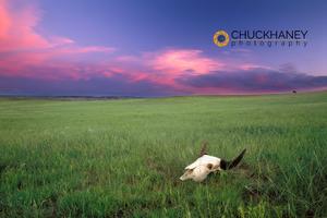 Buffalo Skull in Prairie Grass