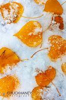 Aspen-Autumn-Leaves_012-466.jpg