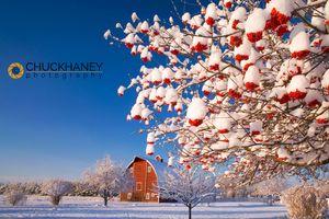 Mountain Ash Berries Frame Edminston Barn near Kalispell