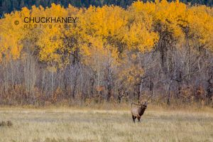 Elk-Waterton-Autumn_010-copy.jpg