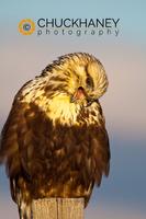 Rough Legged Hawk Portrait