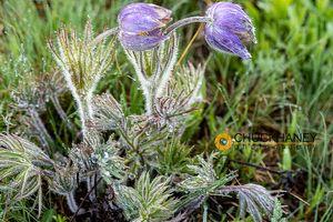 Pasqueflower_012-493.jpg
