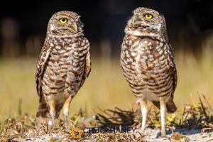 Burrowing-Owl_011-491.jpg