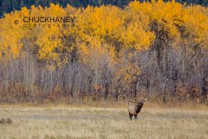 Elk-Waterton-Autumn_010-copy.jpg