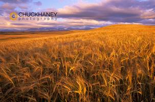 Barley Rocky Mtn Front