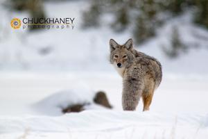 Coyote Winter