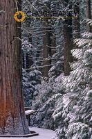 Glacier Cedar Trees