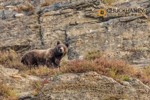 Grizzly-Bear_009-435.jpg