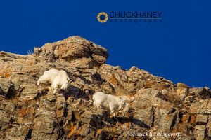 Mountain Goat Winter