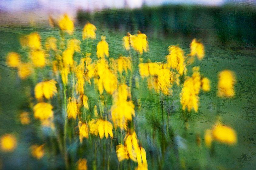 2_0_511_1r1650_flowerpwr_1215_010513_yellowdancers.jpg