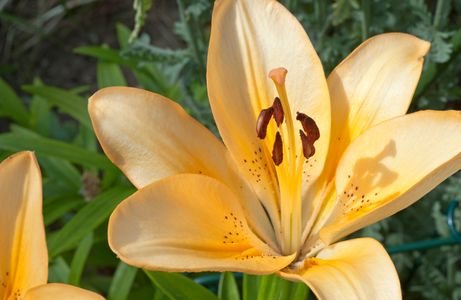 Gold Lily flower photo art print