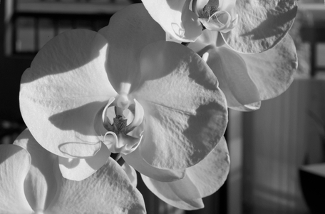 Orchid flower photography art print in black & white