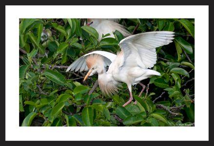 Cattle Bird wildlife art print
