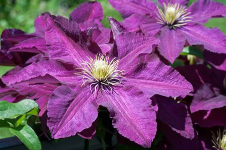 Clematis flower art print for interior design