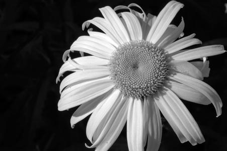 Daisy photography black & white art print for interior design