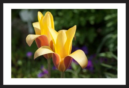 Tulip art prints for interior design