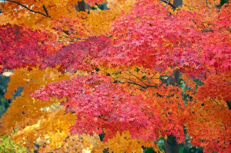 Red and Gold Maple tree fall color art print