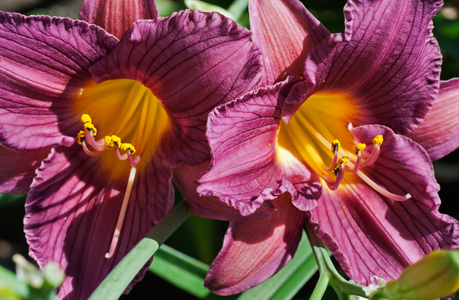 Lily flower art print for home and office