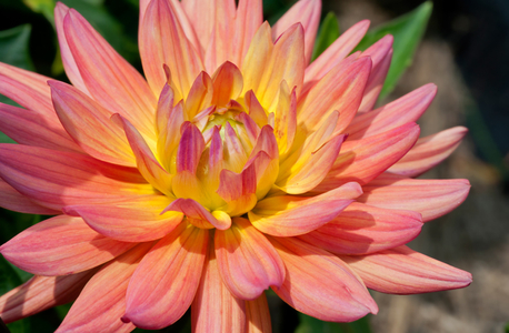 Dahlia flower art prints for decorating home or office