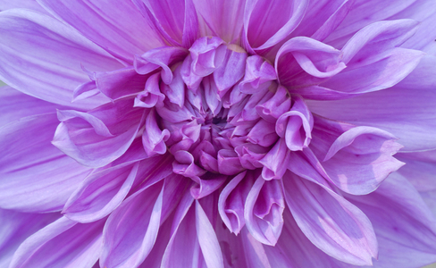 Purple Dahlia flower art print macro for home and office