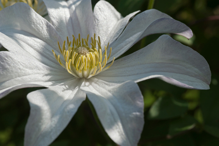 Clematis flower art print macro for home and office