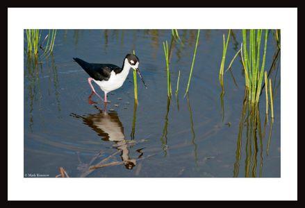 Stilt at the Florida Wetlands art print