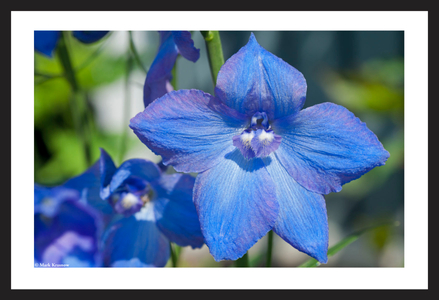 Delphinium flower art print for home and office