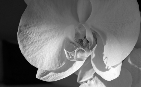 Orchid flower photography art print black and white