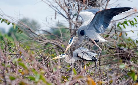 Great Blue Herons - Mating Rituals photography art print