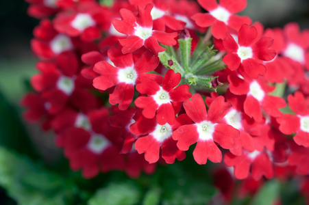 Verbena flower art print for home and office